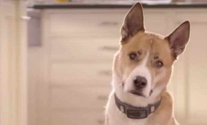 VOYCE Dog Collar Tracks Everything Your Pooch Does 40