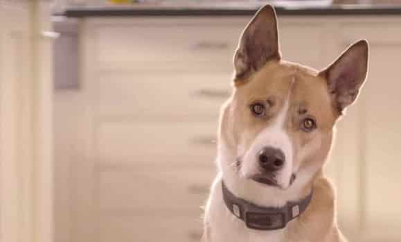 VOYCE Dog Collar Tracks Everything Your Pooch Does 3
